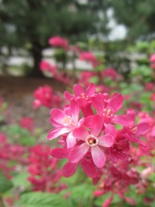 flowering currant blooms